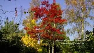 Quercus ellipsoidalis 'Hemelrijk' video