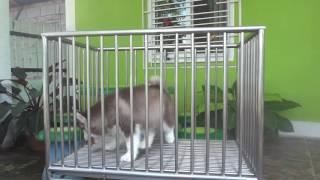babydogs chiangmai น้องคูเปอร์ ไซฮัสน้อยพร้อมย้ายบ้าน