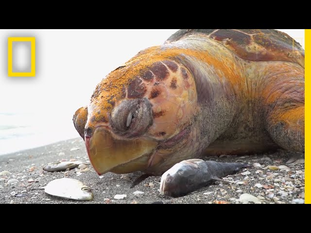 See The Red Tide That Is Devastating Florida's Sea Life | National Geographic