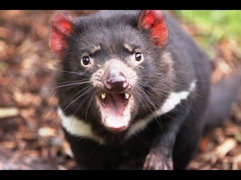 Incredible video of tasmanian devil hunting youtube - Tasmanian devil pics ...