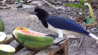 Pássaros do Centro Oeste, Aves brasileiras, Frutos do quintal, rota de alimentação,