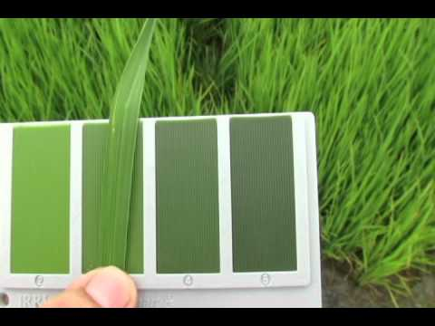 14. IRRI Agronomy Challenge: Checking Nitrogen Level with the Leaf Color Chart (10 March 2012)