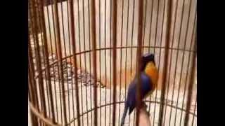 Burung Sulingan kicau tiada henti