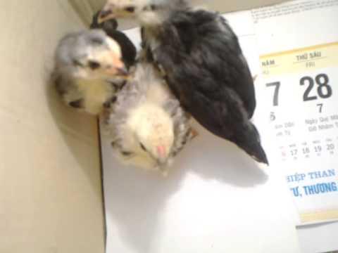 3 chú gà con, hàng tuyển