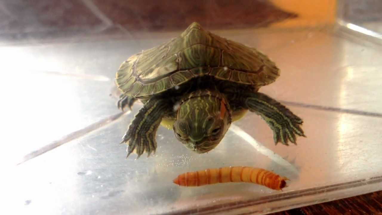My Turtle Eating A Mealworm