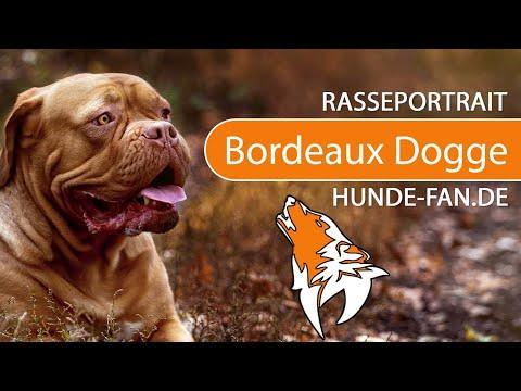 Bordeaux Dogge [2018] Rasse, Aussehen & Charakter
