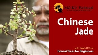 66) Chinese Jade or Portulacara afra ideal Bonsai Trees for Beginners
