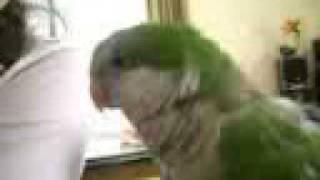 OTRO VIDEO DE MI LORA PEPA QUE HABLA COTORRA PEPITA LORO