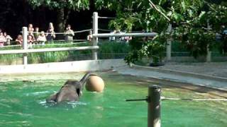Elephant Pool Party at The Oregon Zoo