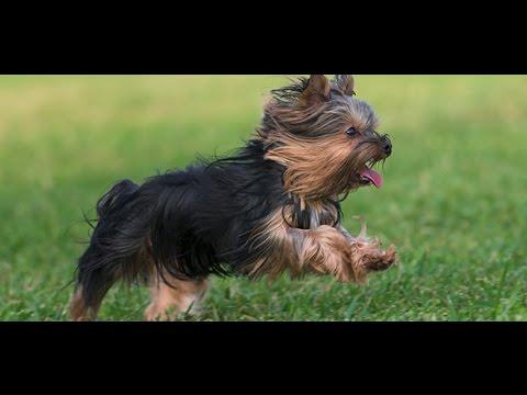 Yorkshire Terrier Dog animals