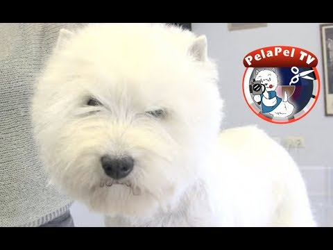 PELUQUERÍA CANINAWESTY - HAND STRIPPING -WEST HIGHLAND WHITE TERRIER REALIZADO POR MERCHE MUÑOZ
