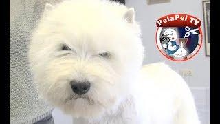 PELUQUERÍA CANINA   WESTY - HAND STRIPPING -  WEST HIGHLAND WHITE TERRIER REALIZADO POR MERCHE MUÑOZ