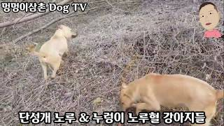 멧돼지 사냥견 단성개 노루혈 강아지들~