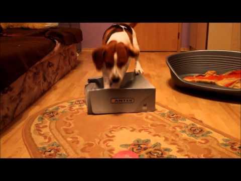 Cute beagle dog tricks 2013