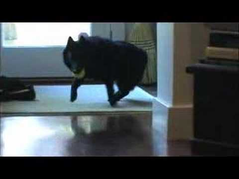 Schipperke Dog Playing Fetch and Resting on Stairs