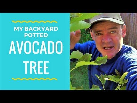 Backyard Potted Avocado Tree Growing Tips VLOG