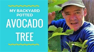 Backyard Potted Avocado Tree Growing Tips VLOG