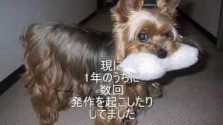 我が家の大切な愛犬 ヨーキー ヨークシャ-テリアのロビンのメモリアルアルバムを...