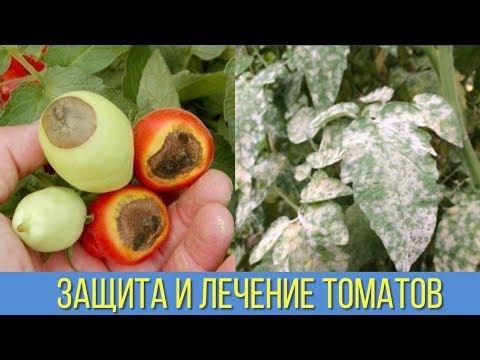 НАРОДНЫЕ СРЕДСТВА для ЗАЩИТЫ и ЛЕЧЕНИЯ ПОМИДОРОВ от ФИТОФТОРЫ Черной ножки ВЕРШИННОЙ ГНИЛИ и пятен | фитофторой | фитофтороз | фитофтора | вершинная | помидоры | бороться | томатов | томатах | болезни | томаты