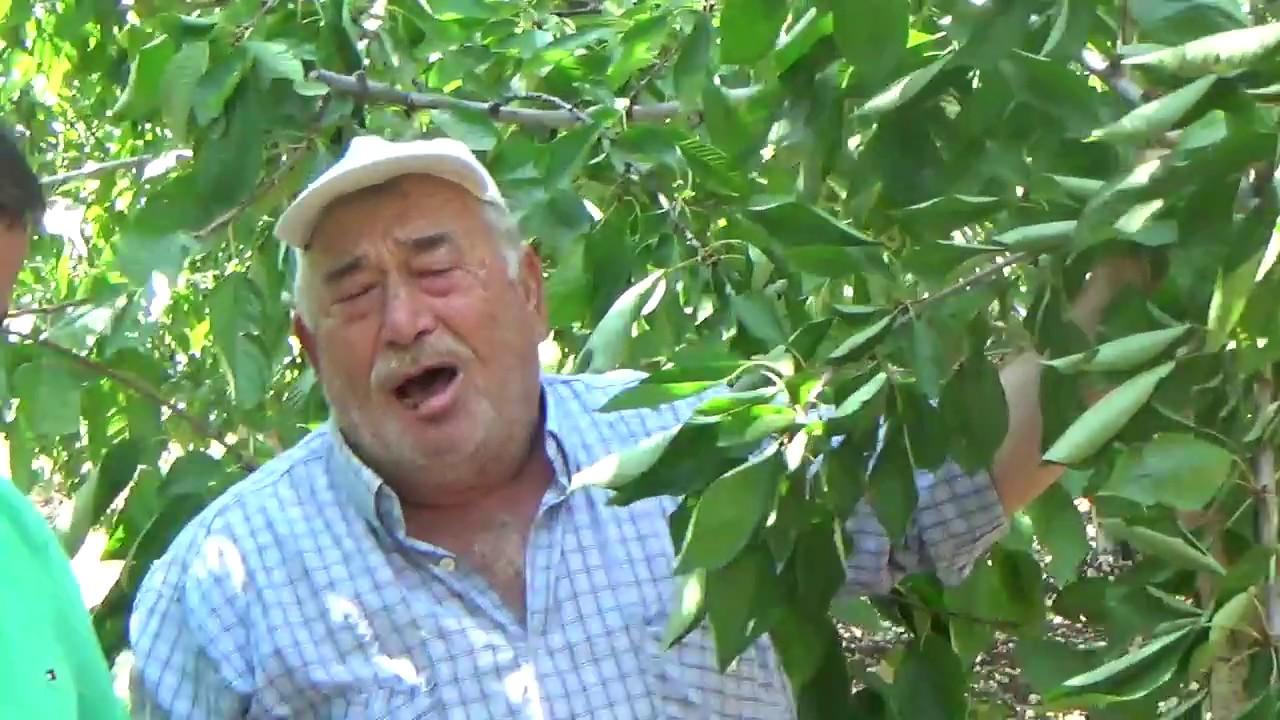 Vişne Nasıl Bir Ağaçtır