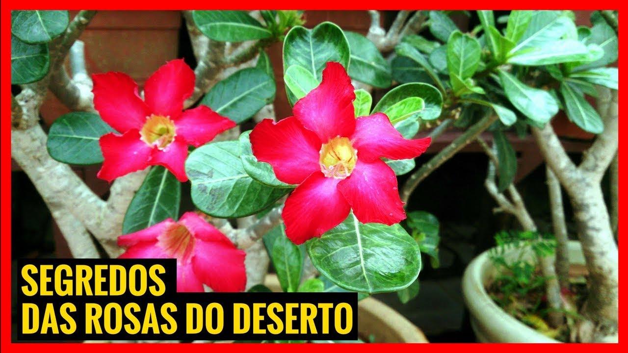 Como Cuidar De Rosas Do Deserto Em Vaso Youtube
