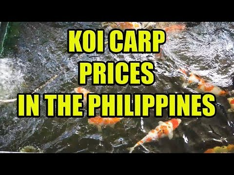 Koi Carp Prices In The Philippines.