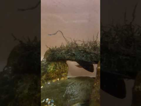 jewel fish laying  egg\