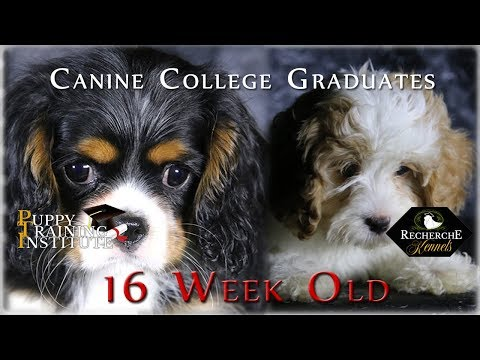 Canine College Graduates of Recherche Cavs (16 Weeks Old)