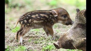 멧돼지들의 처절한 삶.. 맛 그리고 잡는법