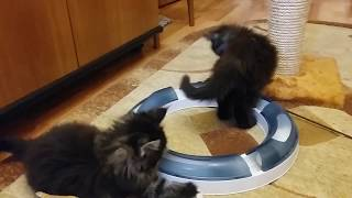 Котята мейн-кун возраст 7 недель