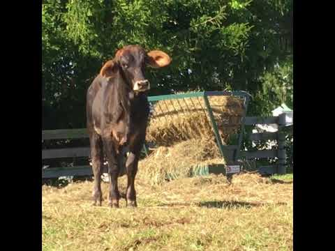 Rescued bull gets new life on NJ farm
