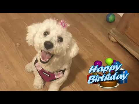 🎈 Schnoodle First Barkday 🎈