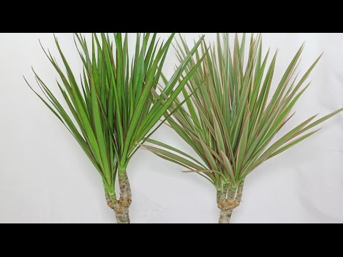 How to grow dracaena from cuttings 5 different varieties of cuttings used in this video - Dracaena marginata cuidados ...