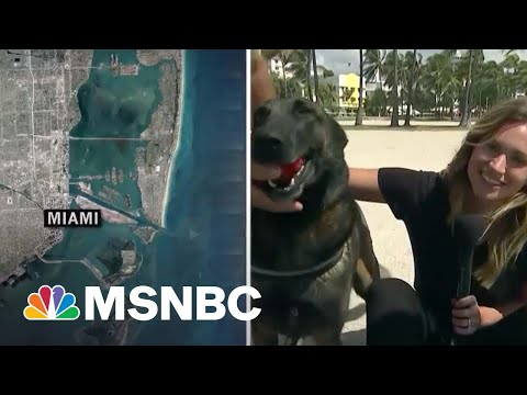 That's A Good Boy: Covid-Sniffing Dogs Screen Guests At Miami Festival