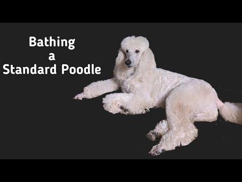 How to Bathe a Standard Poodle | Oasis gets a Bath