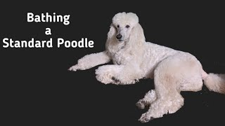 Washing A Dirty Standard Poodle