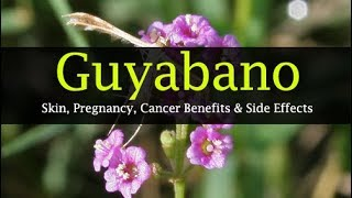 Guyabano Health Benefits -  Skin, Cancer, Pregnancy, Health