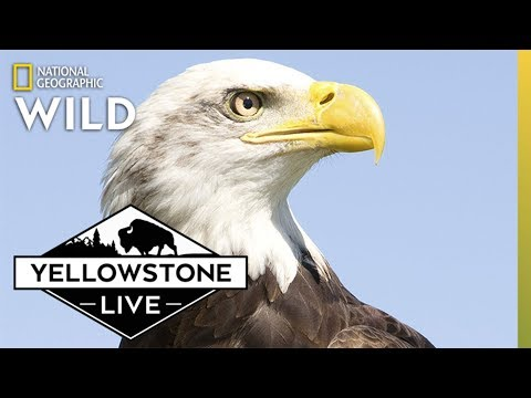 Bald Eagle, LIVE in Yellowstone! | Yellowstone Live