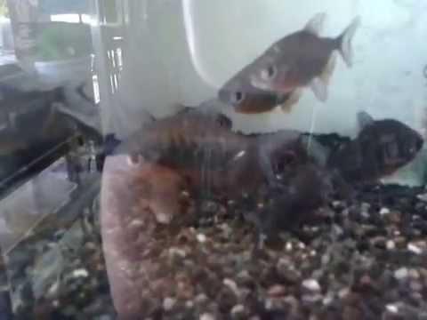 pacu fish tank