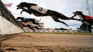 Greyhounds - Hurdle Racing