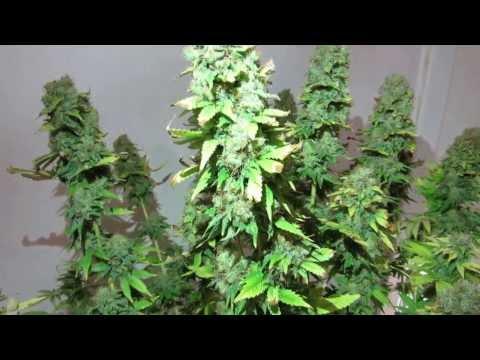 Jack Herer Green House Seeds 104 days (65-12/12)
