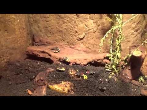 Sun Beetle (pachnoda marginata peregrina) Prague Zoo חיפושית שמש