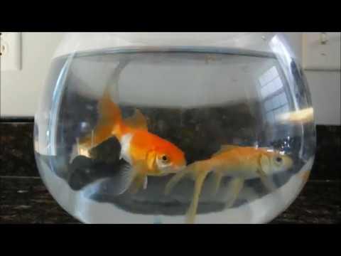 Why Is My Fish Floating? Swim Bladder Disorder Goldfish, Swimbladder, Fix Your Upside Down Fish