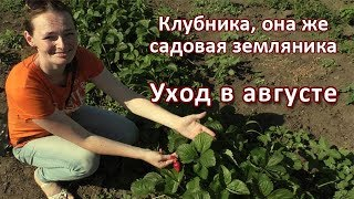 Клубника / Садовая земляника: УХОД В АВГУСТЕ