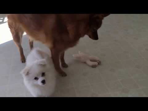 American Eskimo puppy challenged an older Finnish Spitz (7)
