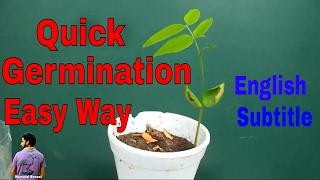 ऐसे लगाएंगे अमलतास के बीज तो जल्दी उग जायेंगे /Golden Shower/Cassia Fistula/Mammal Bonsai
