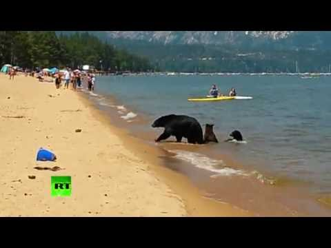 RAW: Bear Family Caught Chilling Next To People On Lake Beach In California