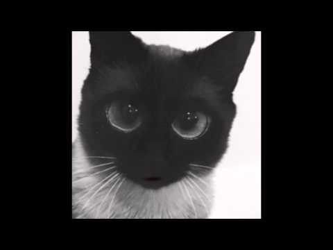 персы фото коты