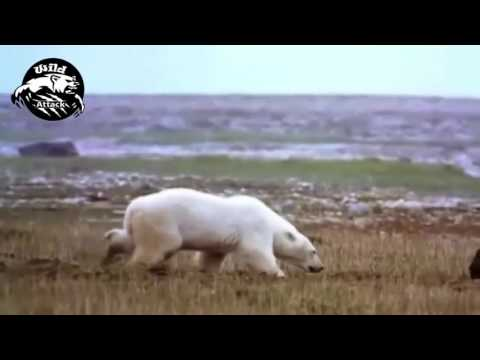 Polar Bear Attack Best Compilations HD