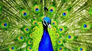 Dancing Peacock HD 2016